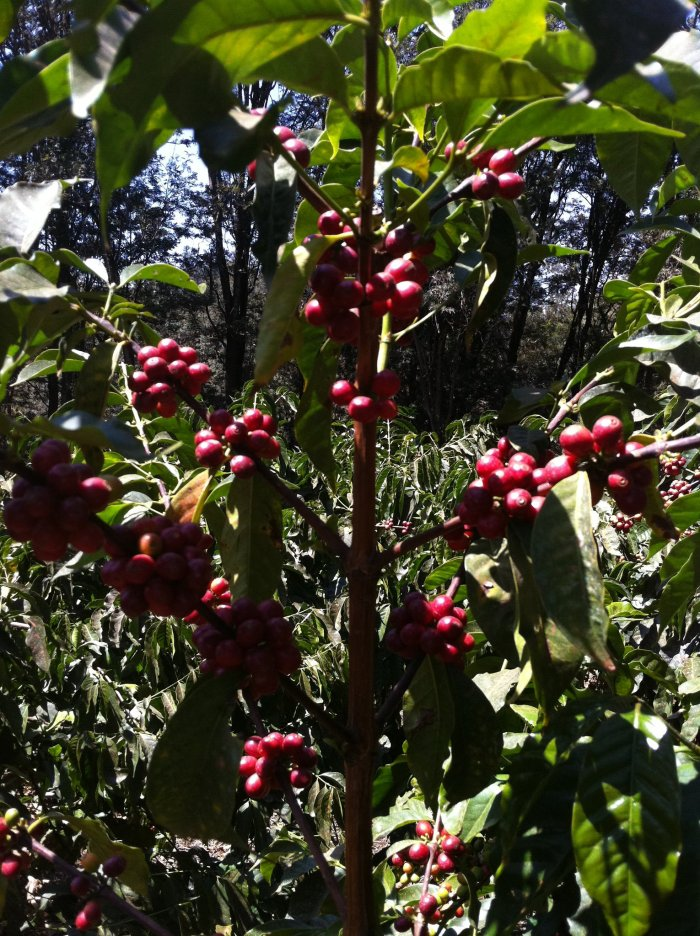 A tree with ripe cherries for the picking.